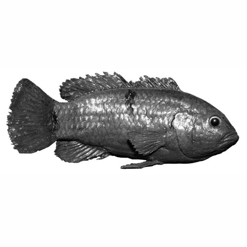 africanjewelfish.jpg