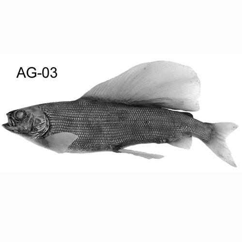 arcticgrayling-ag03.jpg