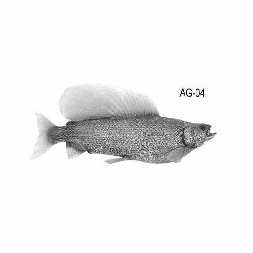 arcticgrayling-ag04.jpg