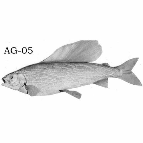 arcticgrayling-ag05.jpg