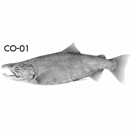 cohosalmon-01.jpg