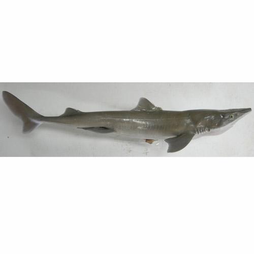 pacificdogfish.jpg