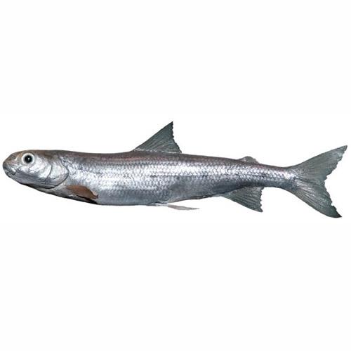 pygmywhitefish.jpg