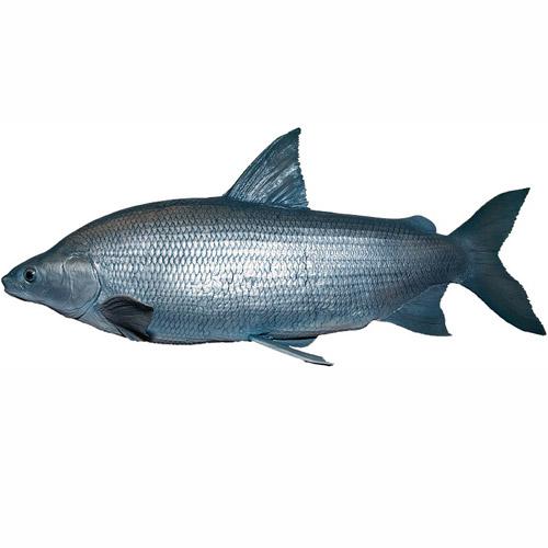 whitefish-02.jpg