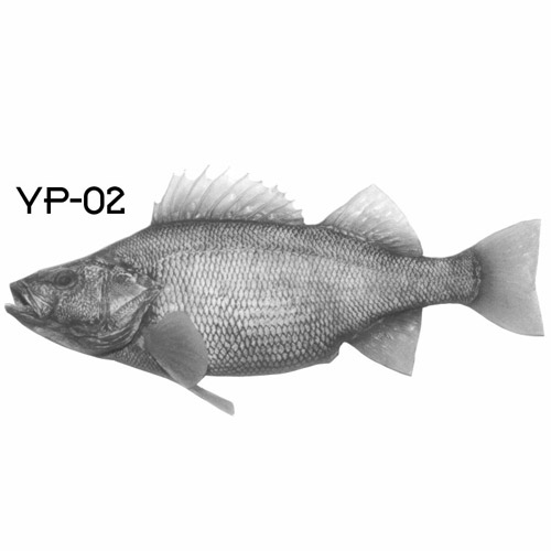yellowperch-02.jpg
